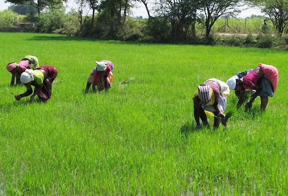 rice-farm (1)